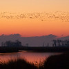 Massive flocks of wintering snow geese during sunrise at Bombay Hook NWR in Delaware.
